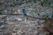 10. Kingfisher spotted at Rantambore