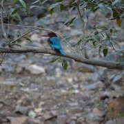 10. Kingfisher spotted at Rantambore